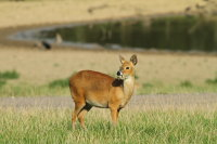 Chinese Water Deer 01