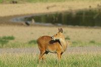 Chinese Water Deer 02