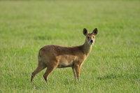 Chinese Water Deer 03