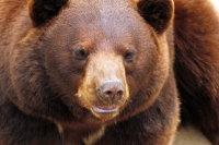 Cinnamon Bear 01