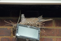 Collared Dove 01
