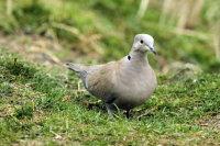 Collared Dove 03