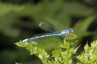 Common Blue Damselfly 01