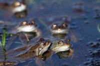 Common Frog 01