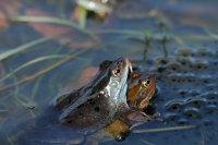 Common Frog 02