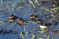 Common Frog 03