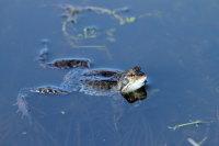 Common Frog 04