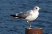Common Gull 01