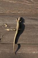 Common Lizard 02