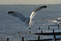 Common gull 02