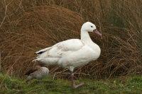 Coscoroba Swan 01