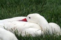 Coscoroba Swan 02