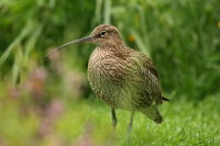 Curlew 01