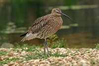 Curlew 02