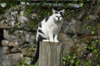 Domestic Cat 01
