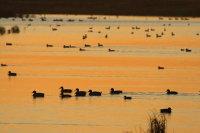 Ducks at sunset 01