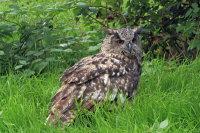 Eagle Owl 02