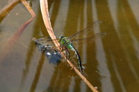 Emperor Dragonfly Egglaying 01