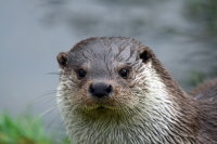 European Otter 01