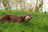 European Otter 02