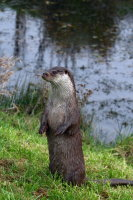 European Otter 03