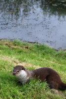 European Otter 04