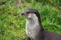 European Otter 06