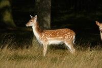 Fallow Deer 01