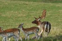 Fallow Deer 02
