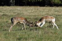 Fallow Deer 04