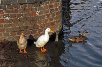 Farmyard Ducks 01