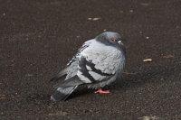 Feral Pigeon 01
