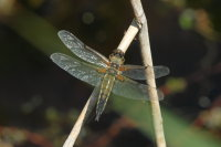 Four-spotted Chaser 02