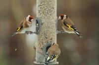 Goldfinch 01