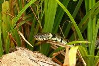 Grass Snake 01
