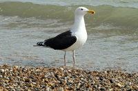 Great Black-backed Gull 101
