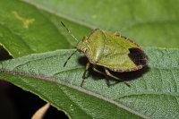 Green Shieldbug 01