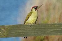 Green Woodpecker 01