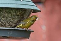 Greenfinch 03