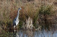 Grey Heron 02