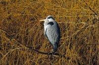 Grey Heron 04