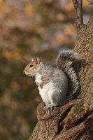 Grey Squirrel 01