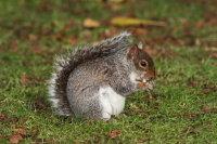 Grey Squirrel 02