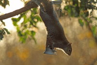 Grey Squirrel 03