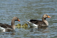 Greylag Goose 01