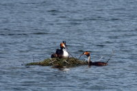 Gt Crested Grebe 03