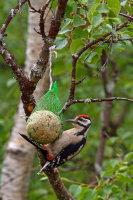 Gt Spotted Woodpecker 01
