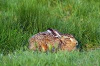 Hare 01