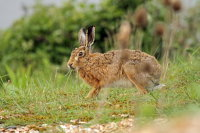 Hare 02