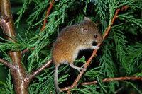 Harvest Mouse 02